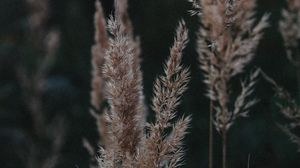 Preview wallpaper ears, plant, grasses, dry