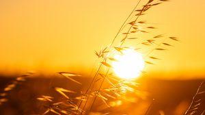 Preview wallpaper ears, sunset, grass, macro, sun