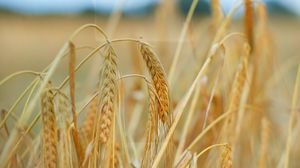 Preview wallpaper ears, wheat, field, plant, dry