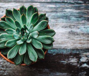 Preview wallpaper echeveria, succulent, pot