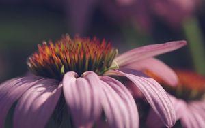 Preview wallpaper echinacea, flower, petals, macro