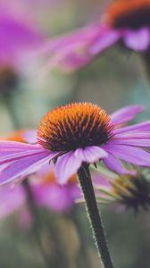 Preview wallpaper echinacea, flower, plant, petals, macro