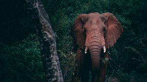Preview wallpaper elephant, forest, wildlife, dark