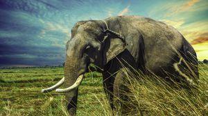 Preview wallpaper elephant, grass, walk