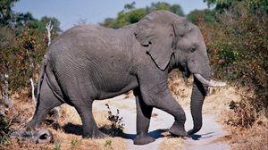 Preview wallpaper elephant, road, dust, walk