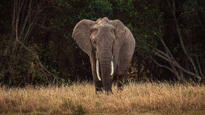 Preview wallpaper elephant, safari, animal, trees