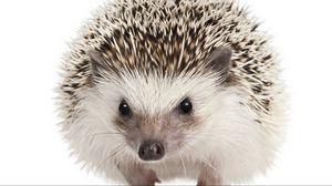 Preview wallpaper eyes, muzzle, hedgehog, mammal