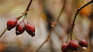 Preview wallpaper fall, twig, berries, drops
