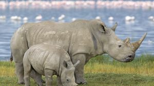 Preview wallpaper family, baby, rhinoceros, field