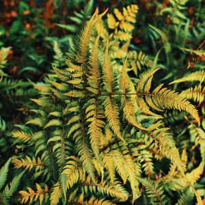 Preview wallpaper fern, plant, green, leaves, autumn