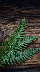 Preview wallpaper fern, plant, leaves