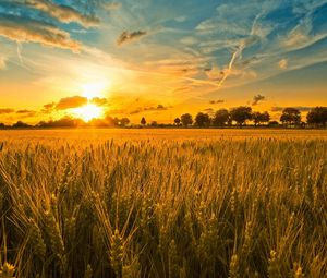 Preview wallpaper field, ears, grains, rye, evening, sunset, sun, light, orange