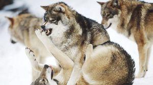 Preview wallpaper fight, predators, wolves