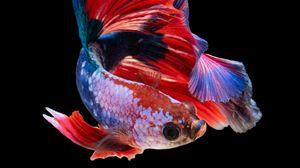 Preview wallpaper fish, aquarium, red, dark background