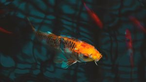 Preview wallpaper fish, carp, koi, aquarium
