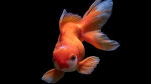 Preview wallpaper fish, underwater world, swim, orange