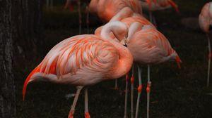Preview wallpaper flamingo, birds, color, feathers, blur