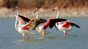 Preview wallpaper flamingo, lake, water, birds, large, walk