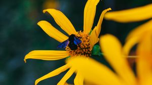 Preview wallpaper flower, bumblebee, insect, yellow, petals
