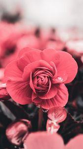 Preview wallpaper flower, drops, macro, petals, blur