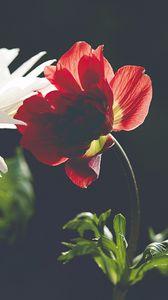 Preview wallpaper flower, petals, macro, red, dark
