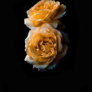 Preview wallpaper flower, rose, yellow, bud, dark background