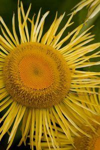 Preview wallpaper flower, sunflower, petals, stamen, pollen