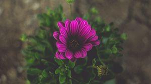 Preview wallpaper flower, violet, close-up, blur
