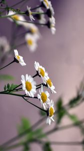 Preview wallpaper flowers, daisies, blurring