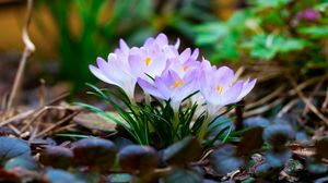 Preview wallpaper flowers, macro, snowdrop, violet