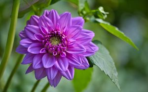 Preview wallpaper flowers, petals, leaves, purple, macro