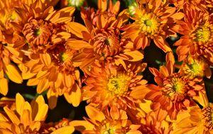 Preview wallpaper flowers, petals, orange, macro