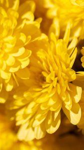 Preview wallpaper chrysanthemums, flowers, petals, yellow, bright, macro