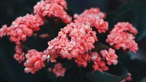 Preview wallpaper flowers, pink, bloom, bush, wild flower
