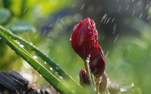 Preview wallpaper flowers, rain, buds, green, nature