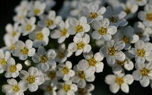 Preview wallpaper flowers, white, petals, macro