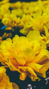 Preview wallpaper flowers, yellow, buds