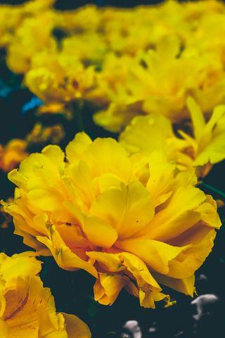 320x480 Wallpaper flowers, yellow, buds