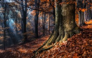 Preview wallpaper forest, trees, autumn, foliage