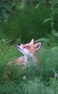 Preview wallpaper fox, animal, grass, wildlife, green
