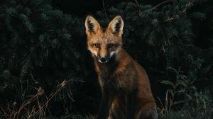 Preview wallpaper fox, forest, grass