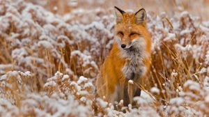 Preview wallpaper fox, grass, snow, sit, hunting