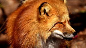 Preview wallpaper fox, tongue, predator
