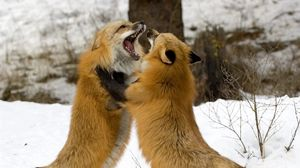 Preview wallpaper foxes, fight, couple, fox, snow