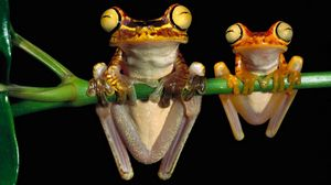 Preview wallpaper frog, couple, branch, hang