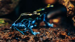 Preview wallpaper frog, phyllobates, colorful, spotted, exotic