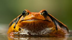 Preview wallpaper frog, toad, eyes