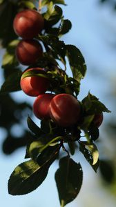 Preview wallpaper fruit, leaves, branch, macro