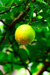 Preview wallpaper fruit, wet, drops, leaves, branch