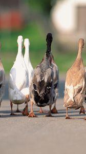 Preview wallpaper geese, flock, asphalt